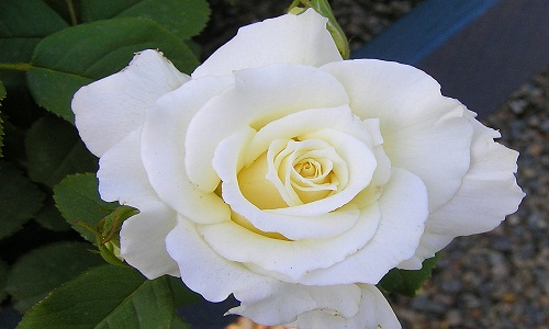 Smooth White Rose